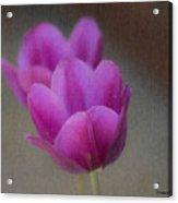 Soft Pastel Purple Tulips  Acrylic Print