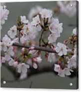 Soft Pink Blossoms Acrylic Print