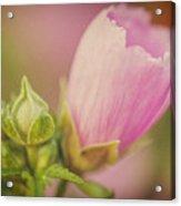 Soft Pink Flower Acrylic Print