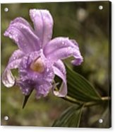 Soft Pink One-day Orchid With Droplets Of Dew Acrylic Print
