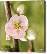 Pink Quince Blossom Acrylic Print