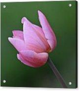 Soft Pink Tulip Acrylic Print