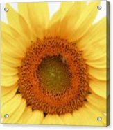 Soft Sunflower Acrylic Print