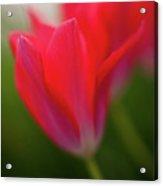 Soft Tulips Acrylic Print