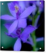 Soft Violet Acrylic Print
