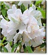 Soft White Azaleas Acrylic Print