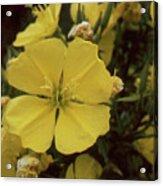 Soft Yellow Flowers Acrylic Print
