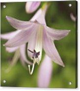 Softened Hosta Bloom Nature Photograph  Acrylic Print