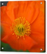 Softly Poppies Acrylic Print by Kathy Yates