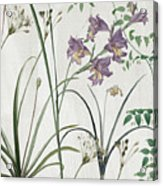 Softly Purple Crocus Acrylic Print