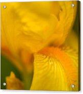 Softly Yellow Acrylic Print