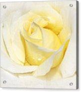 Softly Yellow Rose Acrylic Print
