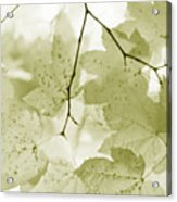 Softness Of Olive Green Maple Leaves Acrylic Print