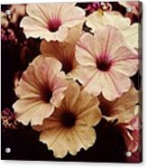 Solanaceae Acrylic Print