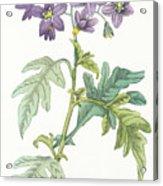 Solanum Quercifolium Acrylic Print
