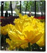 Solar Tulip Acrylic Print