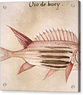 Soldier-fish, 1585 Acrylic Print