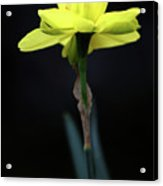 Solitaire Yellow Daffodil Acrylic Print