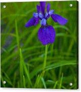 Solitary Blue Flag Acrylic Print