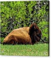 Solitary Buffalo Acrylic Print