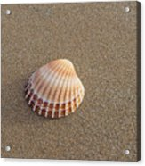 Solitary Cockle Shell Acrylic Print