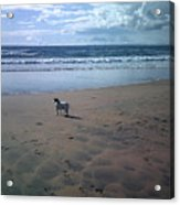 Solitary Doglooking To America Acrylic Print