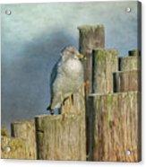 Solitary Gull Acrylic Print