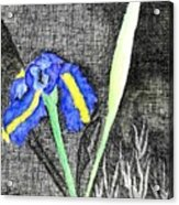 Solitary Iris Acrylic Print