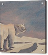 Solitary Polar Bear Acrylic Print