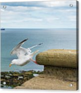 Solitary Seagull Take-off Acrylic Print