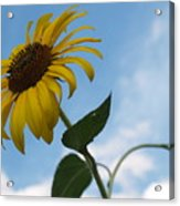 Solitary Sunflower From Below Acrylic Print