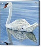 Solitary Swan Acrylic Print