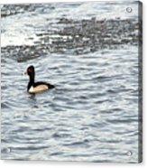 Solo Duck Acrylic Print