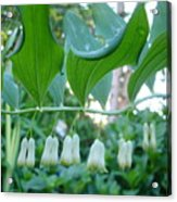 Solomans Seal In Spring Acrylic Print