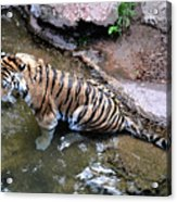 Some Cats Like Water Acrylic Print