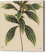 Sonerila Margaritacea Acrylic Print
