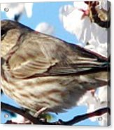 Song Sparrow Dining Out Acrylic Print