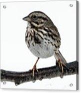 Song Sparrow Profile Acrylic Print