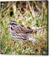 Song Sparrow Sweetie Acrylic Print