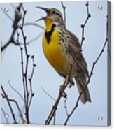 Songster Acrylic Print