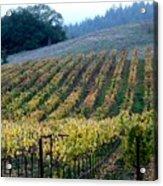 Sonoma County Vineyards Near Healdsburg Acrylic Print