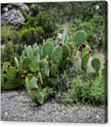 Sonoran Cactus Acrylic Print