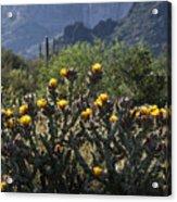 Sonoran Desert Cholla  Acrylic Print
