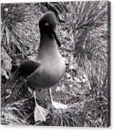 Sooty Albatross On A South Georgia Cliffside Acrylic Print