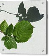 Sophisticated Shadows - Glossy Hazelnut Leaves On White Stucco - Horizontal View Left Down Acrylic Print