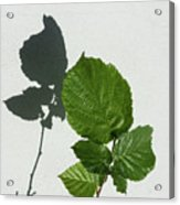 Sophisticated Shadows - Glossy Hazelnut Leaves On White Stucco - Vertical View Upwards Left Acrylic Print