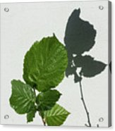 Sophisticated Shadows - Glossy Hazelnut Leaves On White Stucco - Vertical View Upwards Right Acrylic Print