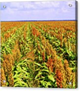 Sorghum Plants Fields In Botswana Acrylic Print