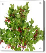 Sour Red Berries Bush Isolated Acrylic Print