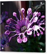 South African Daisy Acrylic Print
